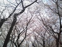 sakura2008_2.jpg