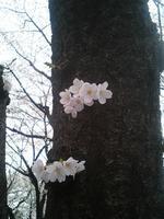 sakura2008_3.jpg